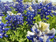 BLUEBONNET -  25 Fresh Seeds - GORGEOUS Blooms!! - FREE Shipping