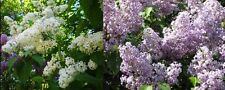 10 Plants!!  Purple and white lilac shrub bush combo hardy perennial