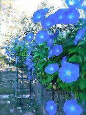 25+ MORNING GLORY CLARK'S HEAVENLY BLUE, Ipomea, Flower Seeds