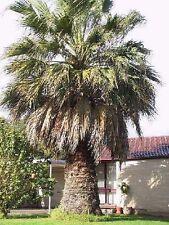 Washingtonia Palmen mediterrane Pflanze Gehölze für den Balkon Blumentopf Hecken