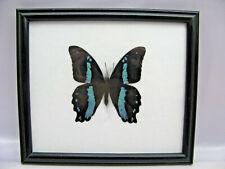 Nireus - echter Schmetterling im Schaukasten aus Holz  20x17cm