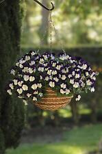 Pensamiento detrás de invierno de floración-Cool Wave-Violeta Wing - 20 Semillas