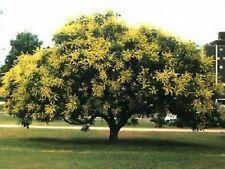 10 Golden Rain Tree Goldenrain Koelreuteria Paniculata Seeds + Gift & Comb S/H
