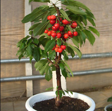 Dwarf Cherry Fruit Plant Seeds Sweet Fruit Exotic Edible Tree Plant Seed 3 Pcs