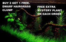 *BUY 2 GET 1 FREE* Dwarf Hair Grass Eleocharis Parvula Clump Aquarium Plants