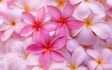 "Beautiful Pink Frangipani flowers CANVAS ART PRINT poster 8""X10"""