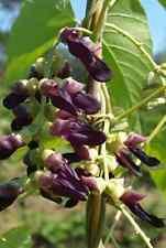 Mucuna Pruriens Vine 5 Seeds, Velvet Bean, Cowitch Medicinal White Strain