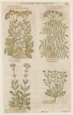 JOHN GERARD VALERIANA VALERIAN ERBORISTERIA FLOWER MATTHIOLI SCABBIOSA 1597