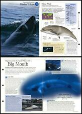 Minke Whale #22 Aquatic Mammals - Discovering Wildlife Fact File Fold-Out Card