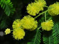 15 Semillas de Acacia Dealbata (Acacia Mimosa)