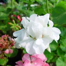 10PCs Seeds Geranium White Maverick Bonsai Flowers Perennial Garden Big Blooms