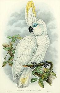 John Gould Native cockatoo white print tree painting art Vintage Old Australia