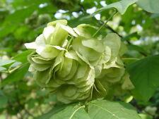 Hop Tree, Stinking Ash plant PTELEA TRIFOLIATA fragrant flowers hop substitute