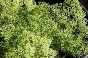 Adiantum raddianum  'Charlotte Parvifolium'