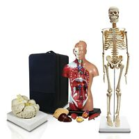 Parco Scientific PBM-B2 Anatomical Package-Skeleton, Torso, Brain with Case