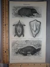 Rare Antique Orig VTG Meyers Kloakentiere Monotreme Platypus Illustration Print
