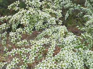 Manuka Jelly Bush 10,000+ FRESH seeds Leptospermum polygalifolium cismontanum