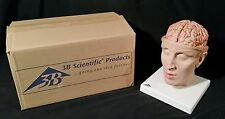 3B Scientific C25 Brain w/ Arteries on Base of Head, 8 part,Anatomical Model