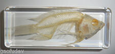 Fish Skeleton Cold-water Goldfish in mid size Clear Block Education Specimen