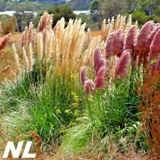 1000 Pampas Grass Seeds Cortaderia 7 Colors Bright Gentle Decorative Lawn Garden