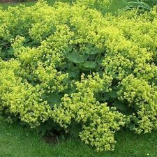 Lady's Mantle (Achemilla Mollis)- 50 Seeds