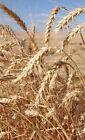 2 1/2 LB of Wheat (bran),Mealworm Superworm Bedding(fast ship) Worm Breeding
