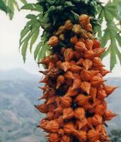 Vasconcellea Weberbaueri (Carica Weberhaueri Hams) - Papaya - 5 Seeds