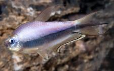 New listing Premium Emperor Tetra Regular live freshwater aquarium fish