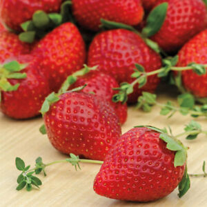 Ozark Beauty Everbearer Strawberry Plants (25 Bareroot Plants)