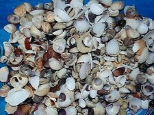 1/2 POUND SMALL INDIAN OCEAN SEA SHELL MIX 1/4