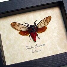 Real Framed Huechys Incarnata Red Devil Cicada 8134