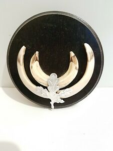 Taxidermy Wild Boar Tusks On Round Shield. Shield Is 14cm Across. #9
