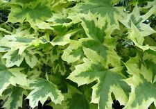 5x Acer platanoides Drummondii / Variegated Norwary Maple, strong & healthy 7ft+
