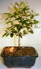 Flowering and Fruiting Arbequina Olive Bonsai Tree (arbequina)