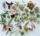 11 Different Assorted Succulent Cuttings/Rosette Assorted Varieties