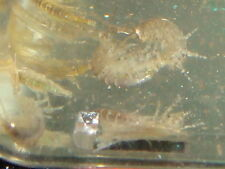 LIVE COMBO PACK :) Amphipods Tisbe Copepods Live Phyto . Feed coral Reef.