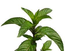 Tee aus eigener Ernte, 1250 Samen Echte Pfefferminze (Mentha piperita), Heilpfl.
