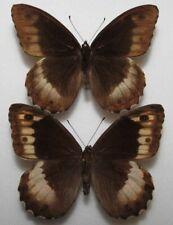 Hipparchia fagi pair from Croatia (mounted)