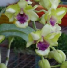 Dendrobium THONGCHAI GOLD x ANUCHA FLARE seedling orchid plant in 80mm pot