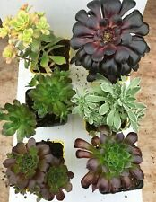 Aeonium Collection 6 x 9 cms pots. SPECIAL OFFER Evergreen Unusual Succulents