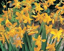 New Pack 10 Crocosmia 'Norwich Canary' (Montbretia) Summer Bulbs/Corms WPC Prins
