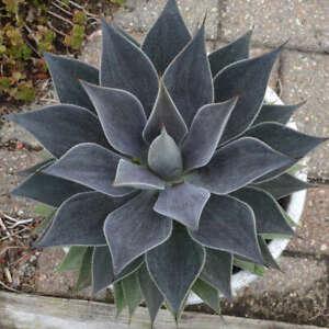 "Lavender Lady Mangave STARTER Plant Agave/Manfreda Hybrid Great COLORS 3"" Wide"