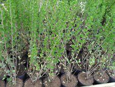 Green Privet Plants Hedging 3ft - 90cm-100cm in 5lt pots new seasons stock