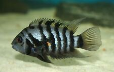 """x10 BLACK CONVICT CICHLIDS - 1"""" - 2"""" EACH - FRESHWATER FISH - FREE SHIPPING"""