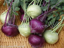 Early White & Purple Vienna KOHLRABI 325+ seeds sweet Organic Heilroom NON-GMO