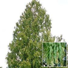 New listing Dawn Redwood. 200 seeds. trees, seeds