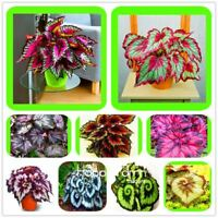 100 PCS Beautiful Begonia flower seeds flowers potted bonsai garden courtyard ba