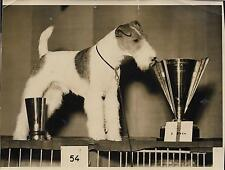 PHOTO de presse TRAMPUS Paris 1937 + FOX TERRIER A POIL DUR et sa coupe + CHIEN