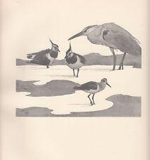 1937 BIRD PRINT ~ LAPWINGS HERON & GREEN SANDPIPERS