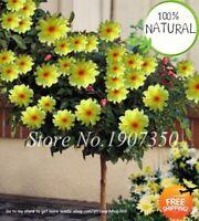 Bonsai Colorful Dahlia Seeds Plants Flower Outdoor Tree Charming 50pcs